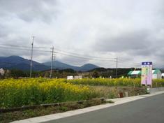 十里木周辺イベント情報 ~富士山すそのパノラマロード菜の花&桜まつり~