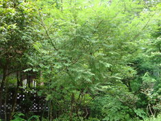 十里木高原の樹木 ~サンショウバラ~