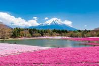 世界遺産の春景色 「富士芝桜まつり」