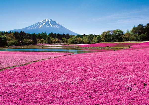残雪の富士山と鮮やかなピンクの絨毯のコントラスト。2016富士芝桜まつり4月16日から開催!