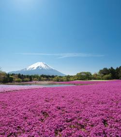 富士北麓に春を告げる 風物詩 「富士芝桜まつり」